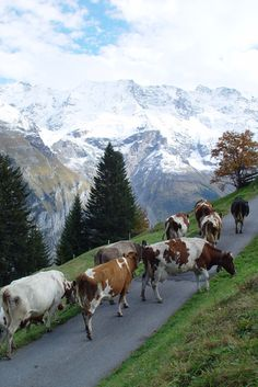 Murren, Switzerland.... you cannot imagine it unless you've been there. The faint sound of hundreds of distant cow bells against such stunning scenery.  (Same kind of cattle drive takes place in Bavaria also.)