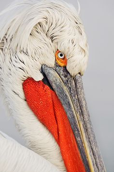 Dalmatian Pelican portrait, Lake Kerkini Greece