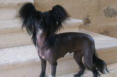 chiens   Gracieux et enjoué, le Chien chinois à crête est caractérisé par ...