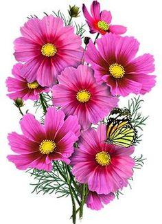 Radiance Cosmos Seeds (Cosmos bipinnatus) – Seed Needs LLC Cosmos Plant, Cosmos Flowers, Pink Flowers, Exotic Flowers, Yellow Roses, Pink Roses, Elegant Flowers, Vintage Flowers, Beautiful Flowers