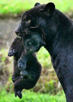 I think it's funny, as mankind evolves we find we can't spank our on kids in public... So should we tell the panther her baby doesn't look c...