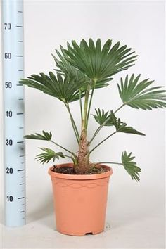 Dwarf chusan palm tree - Outdoor palm tree -Wonderful gift for life that will grow and reach height of plus (in years) - Hardy to uk climate - Next day delivery option - Small palm tree - Trachycarpus Wagnerianus - Tolerant to wind and cold weat Plants For Small Gardens, Garden Plants, Small Palm Trees, Garden Projects, Garden Ideas, Garden Gifts, Amazing Gardens, Garden Inspiration, Cactus Plants