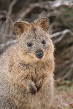 """RARE Quokka  See Over 2000 more animal pictures on my Facebook """"Animals Are Awesome"""" page. animals wildlife pictures nature fish birds photography"""