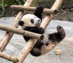 #panda #pandas Tintin the Baby Panda - null