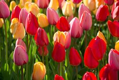 Year of the Tulip - National Garden Bureau My Flower, Flower Power, Painted Trash Cans, American Meadows, Tulips Garden, Tulip Bulbs, Pictures To Paint, Painting Pictures, Spring Bulbs