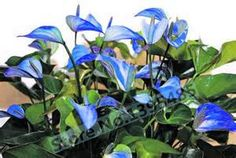 50/bag Anthurium seeds, rare blue flower seed,  the budding rate 95%, seed for flower pot planters