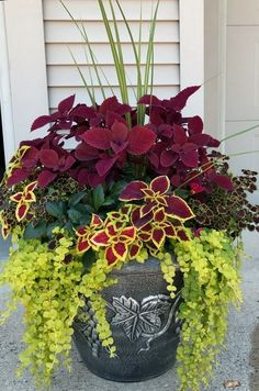 My Coleus creation for this Summer - Garten und Pflanzen - Plants Outdoor Flowers, Flower Garden, Flower Pots, Plants, Front Yard Landscaping, Beautiful Flowers, Flower Planters, Container Gardening Flowers, Summer Flowers
