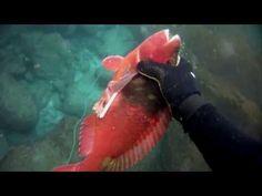 Pesca Submarina de Vieja   Parrot Fish Spearfishing   Buceo