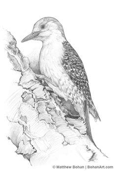 Red-bellied Woodpecker Pencil Sketch