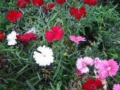Kesäneilikka - Dianthus Barbatus -ryhmä Dianthus Barbatus, Magic Charms, Charmed, Plants, Plant, Planets