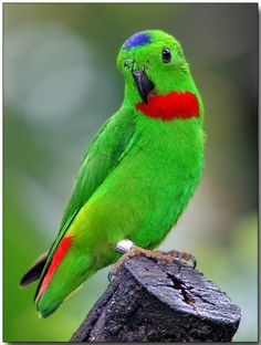 Blue-crowned Hanging Parrot.