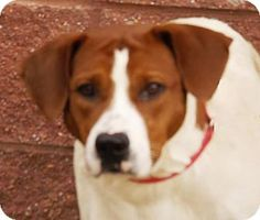 2/3/17 * URGENT! Oxford, MS - Hound (Unknown Type) Mix. Meet Lucy, a dog for adoption. Hi, my name is Lucy and I am a 2 year old Hound mix that was brought to the shelter as a stray.  I am pretty, sweet, and playful girl!  I have the best disposition, get along well with other dogs, and walk well on a leash!  http://www.adoptapet.com/pet/17444612-oxford-mississippi-hound-unknown-type-mix