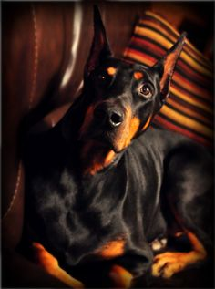 #Doberman #Pinscher #Puppy #Dogs