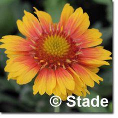 Staudenfoto zu Gaillardia x grandiflora 'Arizona Apricot' (Garten-Kokardenblume) Shops, Arizona, Plants, Culture, Garten, Flagstaff Arizona, Tents, Retail, Flora