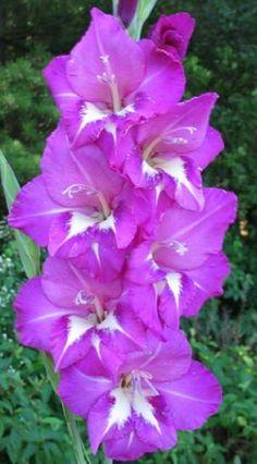 Gladiolus 'Pulchy'