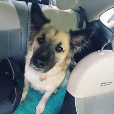 Backseat driver  .@fiatontheweb  #declandog #sundaydriver #germanshepherd #dogsandpals #gsdlove