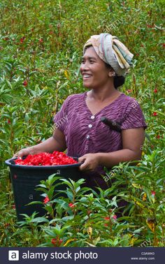 A BALINESE woman harvests flowers in the agricultural lands along SIDEMAN ROAD - BALI, INDONESIA Stock Photo
