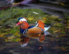 ps-pictureshop: Enten, duck,