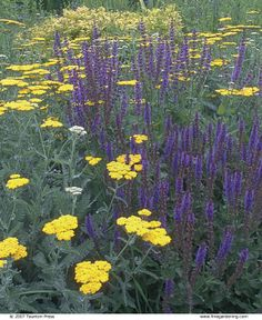 "Yellow ""Moonshine"" Achillea (yarrow) and purple salvia. Plant Combinations That Work - Fine Gardening Article Landscape Design, Garden Design, Fine Gardening, Organic Gardening, Yellow Plants, Cottage Garden Plants, Woodland Garden, Colorful Garden, Gardens"