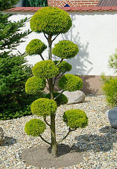 ch… – Back Yard Plants Topiary Garden, Topiary Trees, Bonsai Garden, Garden Trees, Trees To Plant, Cloud Pruning, Front Garden Landscape, Backyard Plants, Garden Nursery