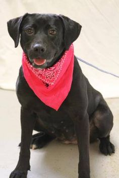 ADOPTED>NAME: Clara  ANIMAL ID: 31479960  BREED: Labrador  SEX: female  EST. AGE: 2 yr  Est Weight: 57 lbs  Health: heartworm neg  Temperament: dog friendly, people friendly.  ADDITIONAL INFO: RESCUE PULL FEE: $35  Intake date: 5/2  Available: 5/8