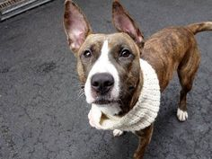SAFE 03/28/15 by For The Love of Dog --- Manhattan Center   THUNDER - A1026190   FEMALE, BR BRINDLE / WHITE, AM PIT BULL TER MIX, 2 yrs STRAY - STRAY WAIT, NO HOLD Reason STRAY  Intake condition UNSPECIFIE Intake Date 01/23/2015,   Main thread:  https://www.facebook.com/photo.php?fbid=970376779641868
