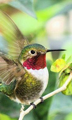Pretty birds , Ruby-Throated Hummingbird