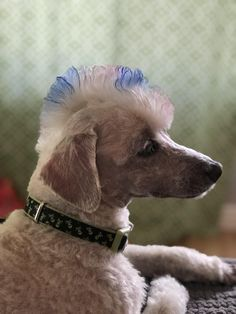 Japanese Dog Grooming, Dog Anatomy, Poodle Cuts, Poodle Grooming, Poodles, Dog Photos, Dog Stuff, Bunnies, Cute Dogs