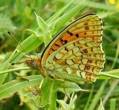 Argynnis (Fabriciana) niobe (Linnaeus, 1758) - le farfalle della Puglia