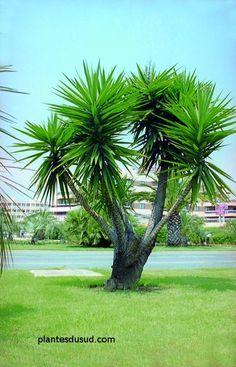 palmier copernicia fallaensis fallense arbre pinterest palmiers jardins et plantes. Black Bedroom Furniture Sets. Home Design Ideas