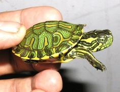 Yellow Bellied Slider, Slider Turtle, Baby Animals, Cute Animals, Aquatic Turtles, Cartoon Turtle, Turtle Love, Turtle Party, Baby Turtles