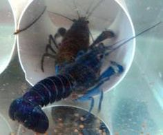 How to Freshwater Lobster Aquaculture - Home