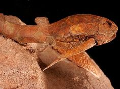 Russian Devonian fish - Batrioleptis | Luga river, St. Petersburg region, Russia | Russian Fossil Museum http://paleoart.com/static/paleozoic-mezozoic_russian_vertebrate_fossils/russian_devonian_fish_batrioliptis.htm