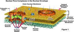 nuclear membrane - Google Search