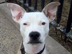 RETURNED!! SUPER URGENT Manhattan Center MINO – A0926953 ***RETURNED 06/11/16*** NEUTERED MALE, TAN / WHITE, PIT BULL MIX, 5 yrs OWNER SUR – EVALUATE, NO HOLD Reason ALLERGIES Intake condition EXAM REQ Intake Date 06/11/2016, From NY 10027, DueOut Date 06/14/2016, I came in with Group/Litter #K16-061061.