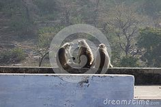 A funny portrait of three large grey langur monkeys sitting on a roof top chatting about life. Their grey hair shining in the sunlight with forest in the background. Roof Top, Grey Hair, A Funny, Monkeys, Mammals, Sunlight, Stock Photos, Portrait, Life