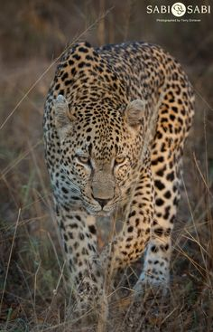 The Near Threatened Persian Leopard (Panthera pardus saxicolor) is found in the Caucasus, Turkmenistan and northern Iran. The Anatolian Leopard (P. tulliana) is found in western Turkey. Ocelot, Lynx, Big Cats, Cool Cats, Beautiful Cats, Animals Beautiful, Baby Animals, Cute Animals, Wildlife Photography