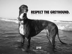 End Dog Racing! *Tens of thousands of greyhounds... | oh! happy grey