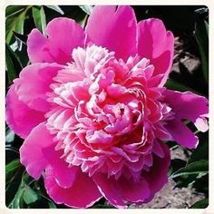 Aster Duchess Pink Flower Seeds (Callistephus Tall Paeony) 50+Seeds - Under The Sun Seeds  - 1