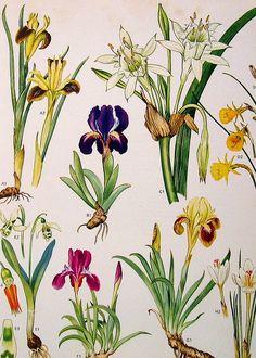 Vintage Botanical Print Flowers