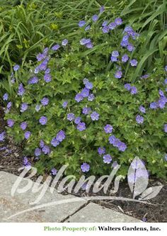 """The large 2.5"""" saucer-shaped, violet-blue flowers with white centres bloom profusely from late spring to first frost. Mounded, slightly marbled, deep green foliage turns reddish brown in fall. Great heat tolerance. 2008 Perennial Plant of the Year."""