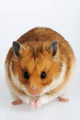 How to Handle and Tame a Pet Hamster