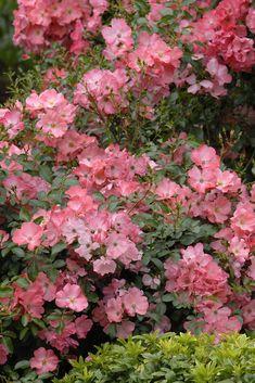 23 Best Flower Carpet Groundcover Rose Scarlet Images In 2020