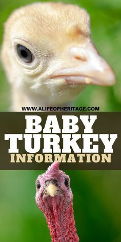 What is a Baby Turkey Called? It's a fun name! ⋆ A Life Of Heritage