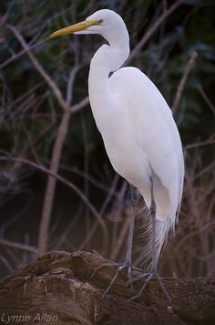 Great White Egret.  Sweet reminder of our vacations in Amilia Island