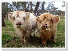 Highland Cattle in NSW Australia www.ennerdalehighlands.com