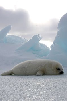 Harp Seal Pup by The Humane Society of the US