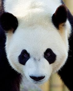 Giant Panda - lives in a few mountain ranges in central China, mainly in Sichuan province, but also in the Shaanxi and Gansu provinces. As a result of farming, deforestation and other development, the panda has been driven out of the lowland areas where it once lived.
