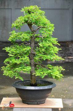 Bonsai Tree Types, Bonsai Plants, Bonsai Garden, Garden Trees, Garden Art, Unique Trees, Small Trees, Potted Trees, Trees To Plant