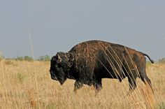 Texas Parks and Wildlife  Roam with the bison this weekend in their historic home at Caprock Canyons State Park in the Panhandle.